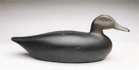 Black duck from Massachusetts, 1st to 2nd quarter 20th century.