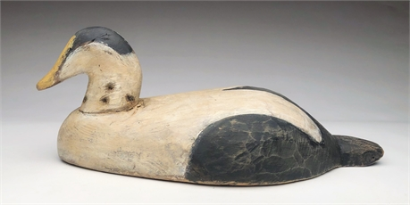 Eider drake from the Eastern shore of Nova Scotia, 2nd quarter 20th century.